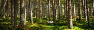 bosque_coniferas_comef