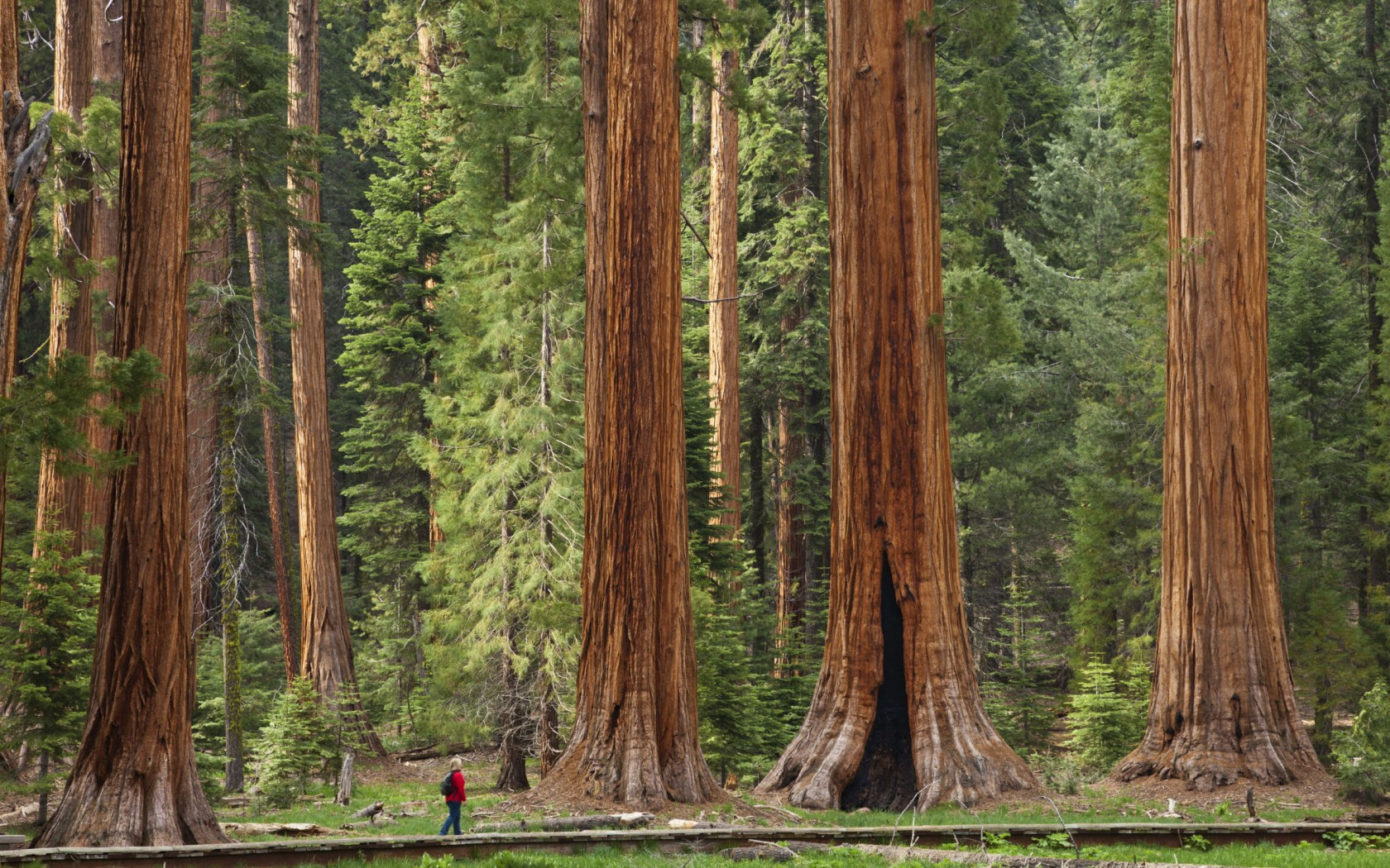https://i1.wp.com/www.cel-mai.ro/imagini/sequoia-m/giant-sequoia.jpg