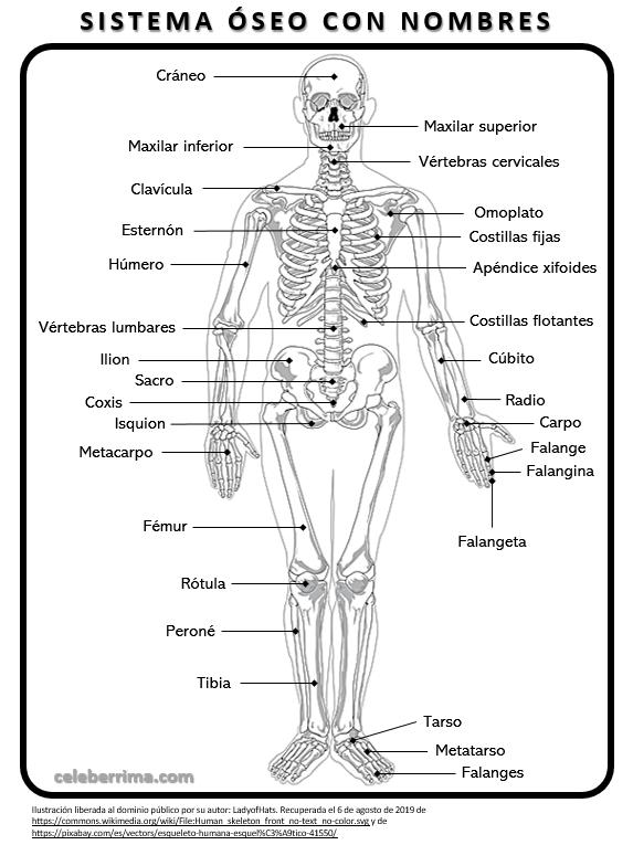 Esquema Sistema óseo Con Nombres Y Sin Nombres Para Imprimir Celebérrima Com