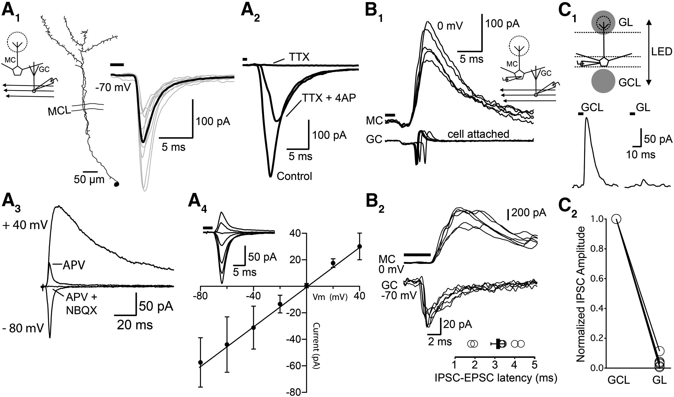 Cortical Feedback Control Of Olfactory Bulb Circuits Neuron