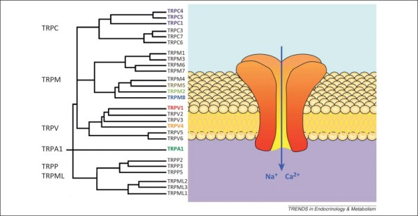 Transient receptor potential channels and energy ...