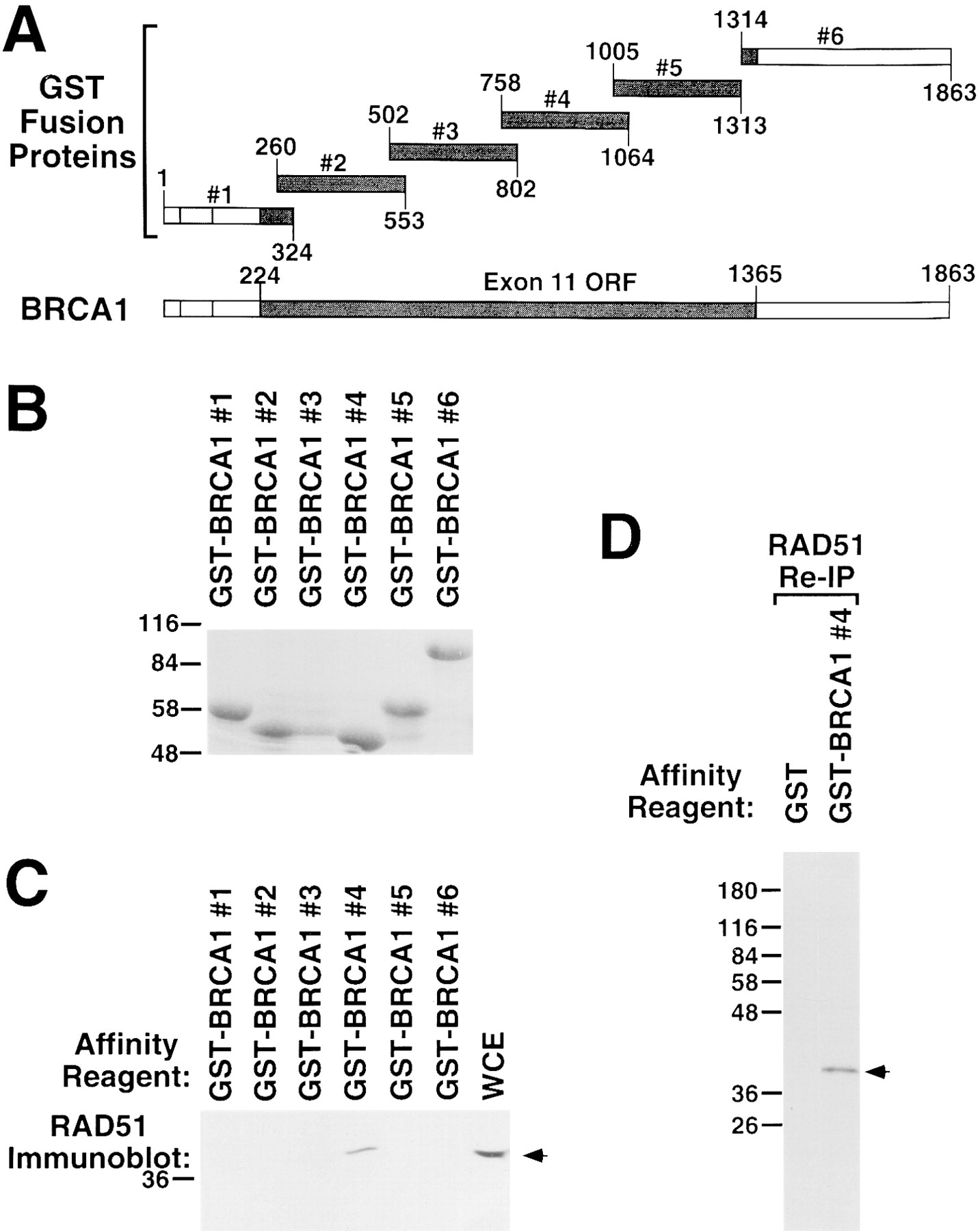 Association Of Brca1 With Rad51 In Mitotic And Meiotic