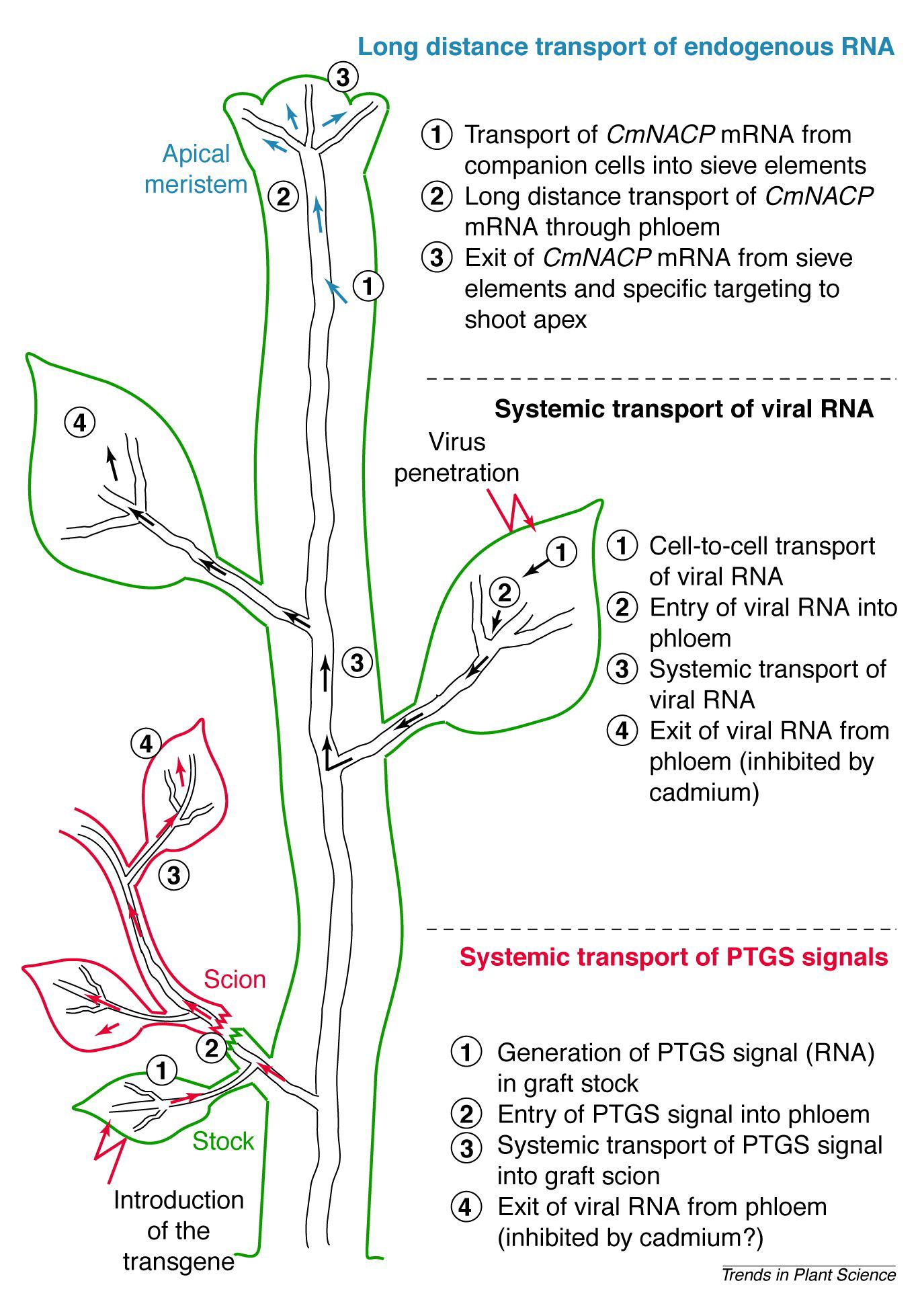 Systemic Transport Of Rna In Plants Trends In Plant Science