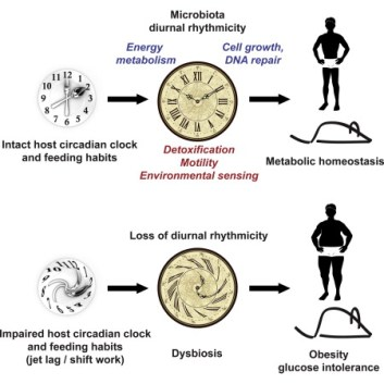 Image result for circadian gut