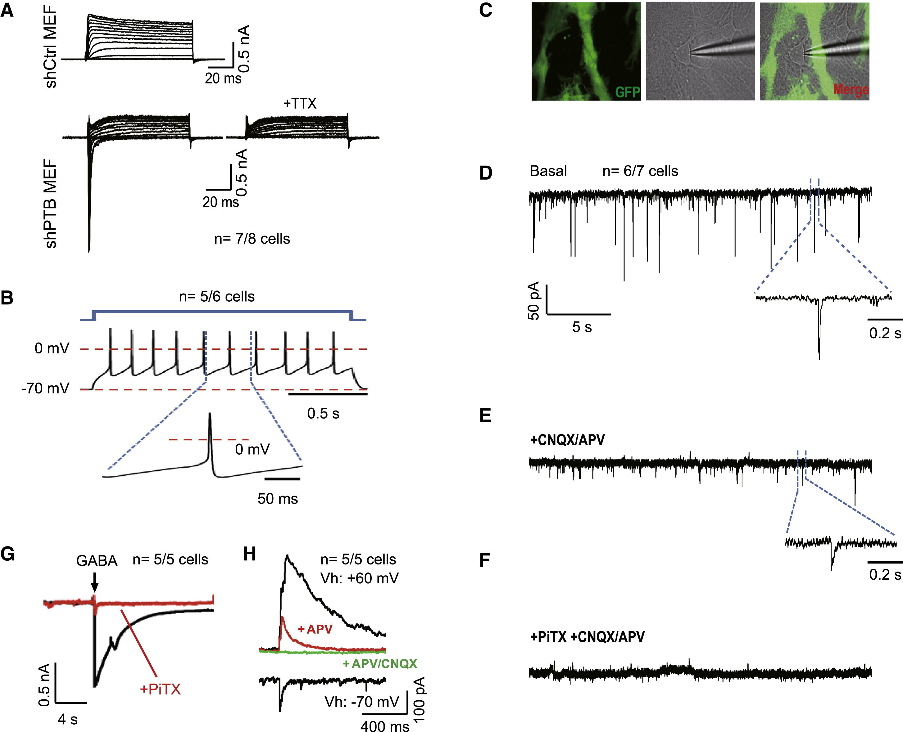 Direct Conversion Of Fibroblasts To Neurons By Reprogramming Ptb Regulated Microrna Circuits Cell