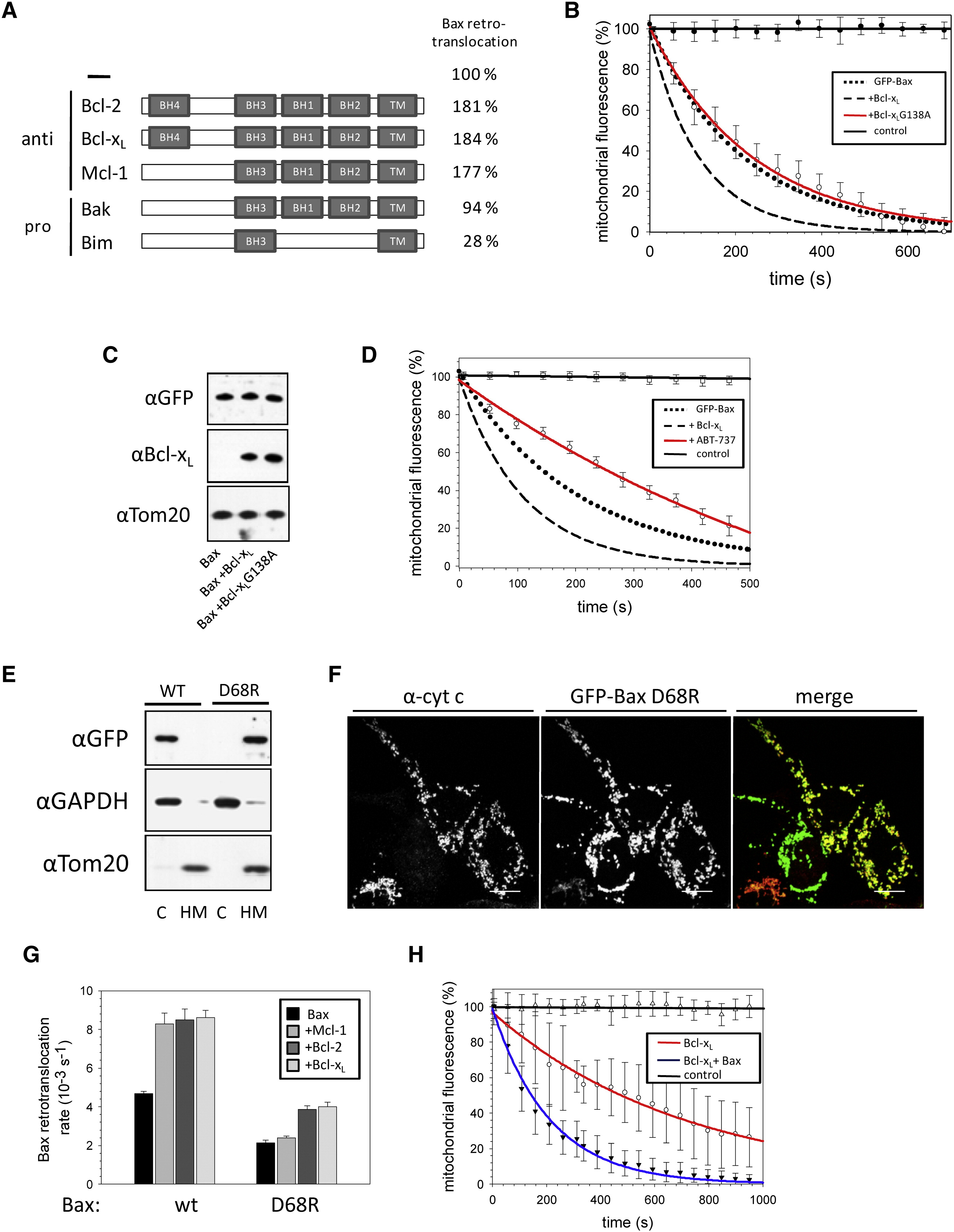 Bcl Xl Retrotranslocates Bax From The Mitochondria Into