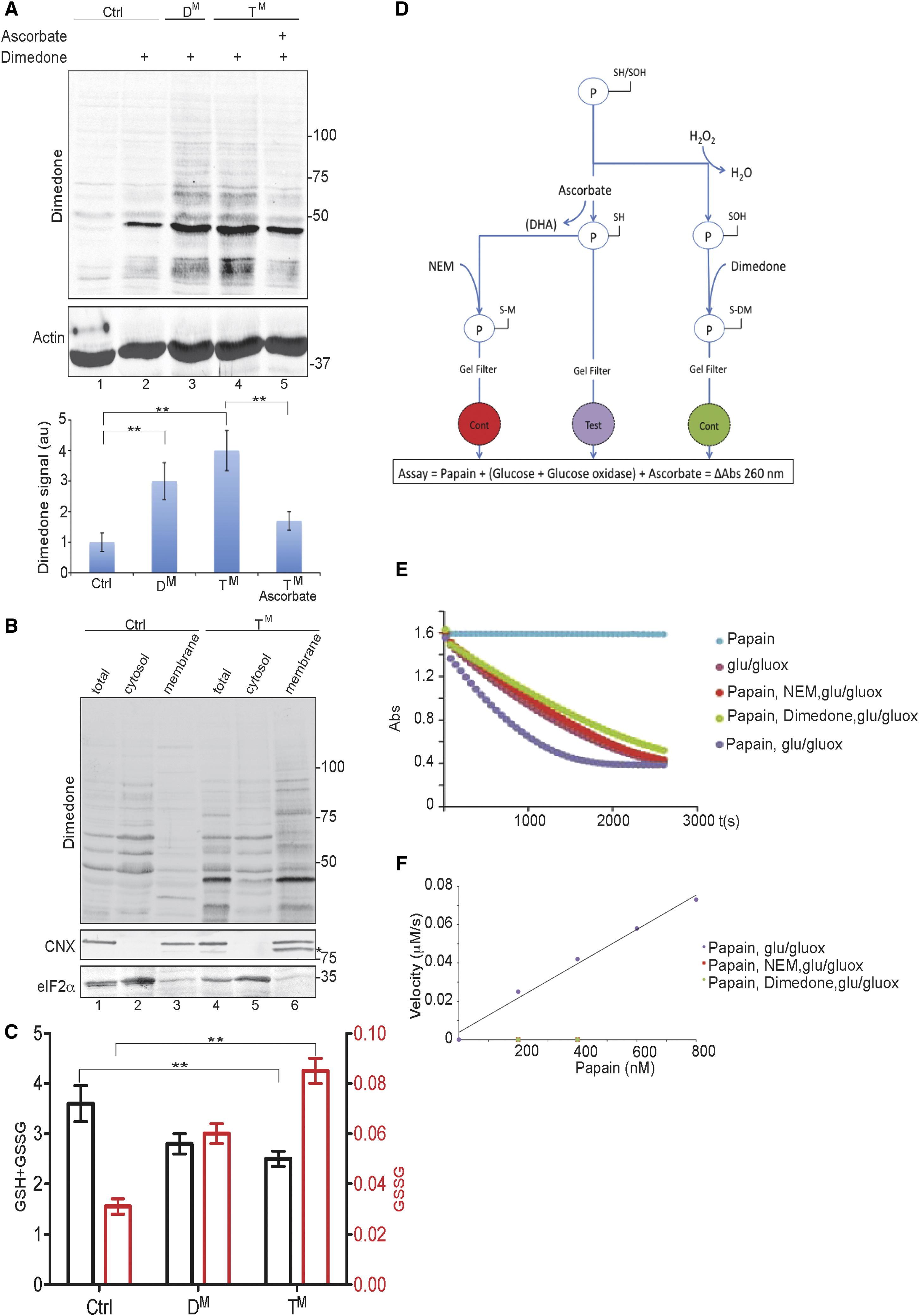 Endoplasmic Reticulum Thiol Oxidase Deficiency Leads To Ascorbic Acid Depletion And Noncanonical