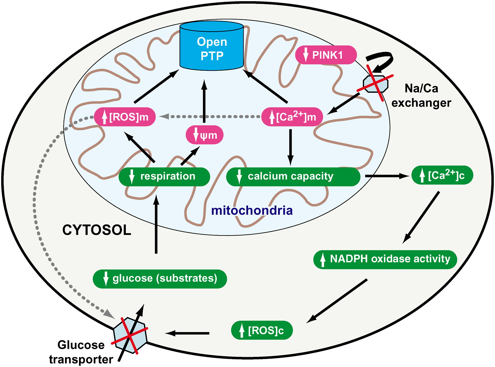 Pink1 Associated Parkinson S Disease Is Caused By Neuronal Vulnerability To Calcium Induced Cell
