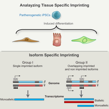 Differentiation Of Human Parthenogenetic Pluripotent Stem