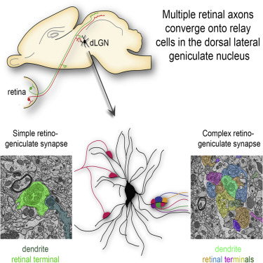 Multiple Retinal Axons Converge onto Relay Cells in the ...