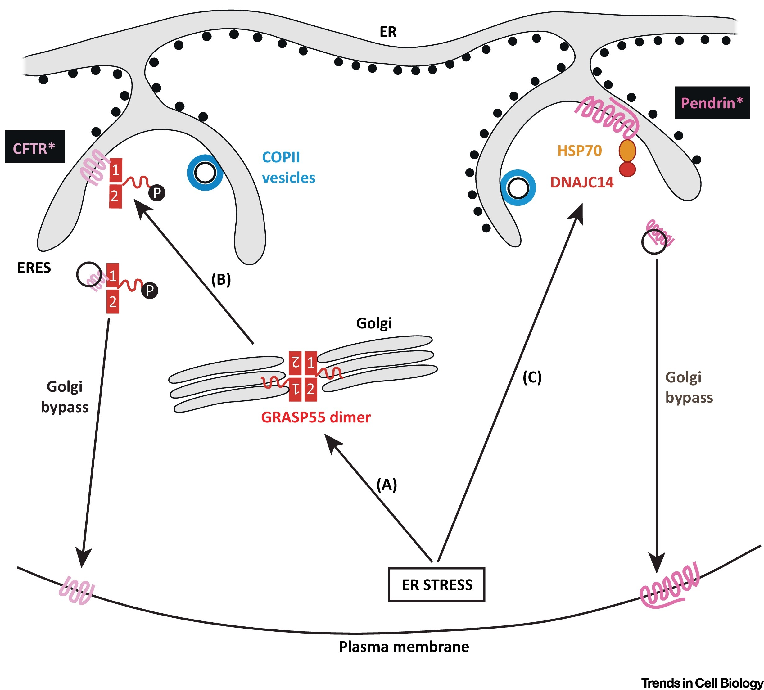 Pathways Of Unconventional Protein Secretion Trends In