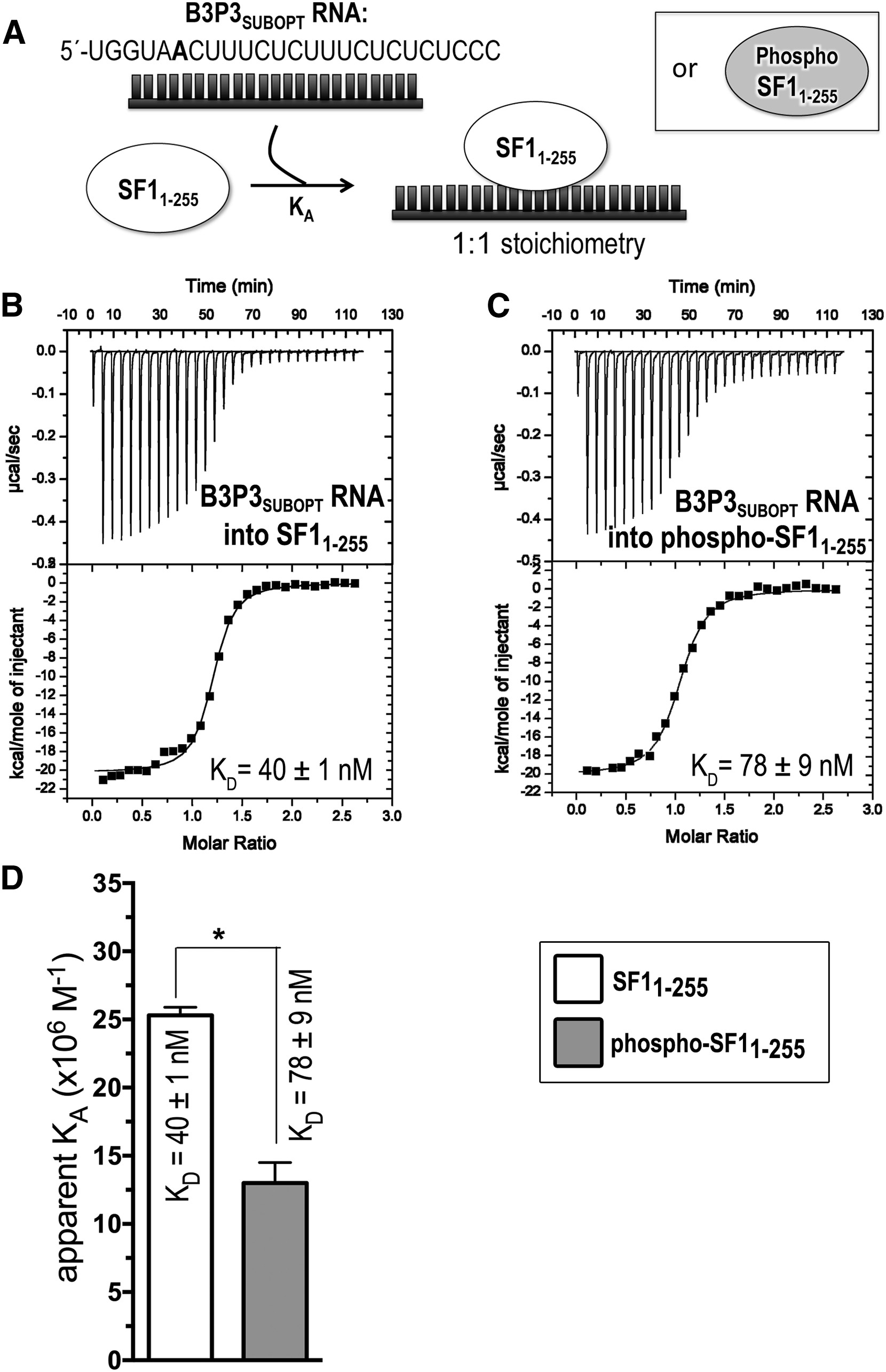 Sf1 Phosphorylation Enhances Specific Binding To U2af65 And Reduces Binding To 3 Splice Site