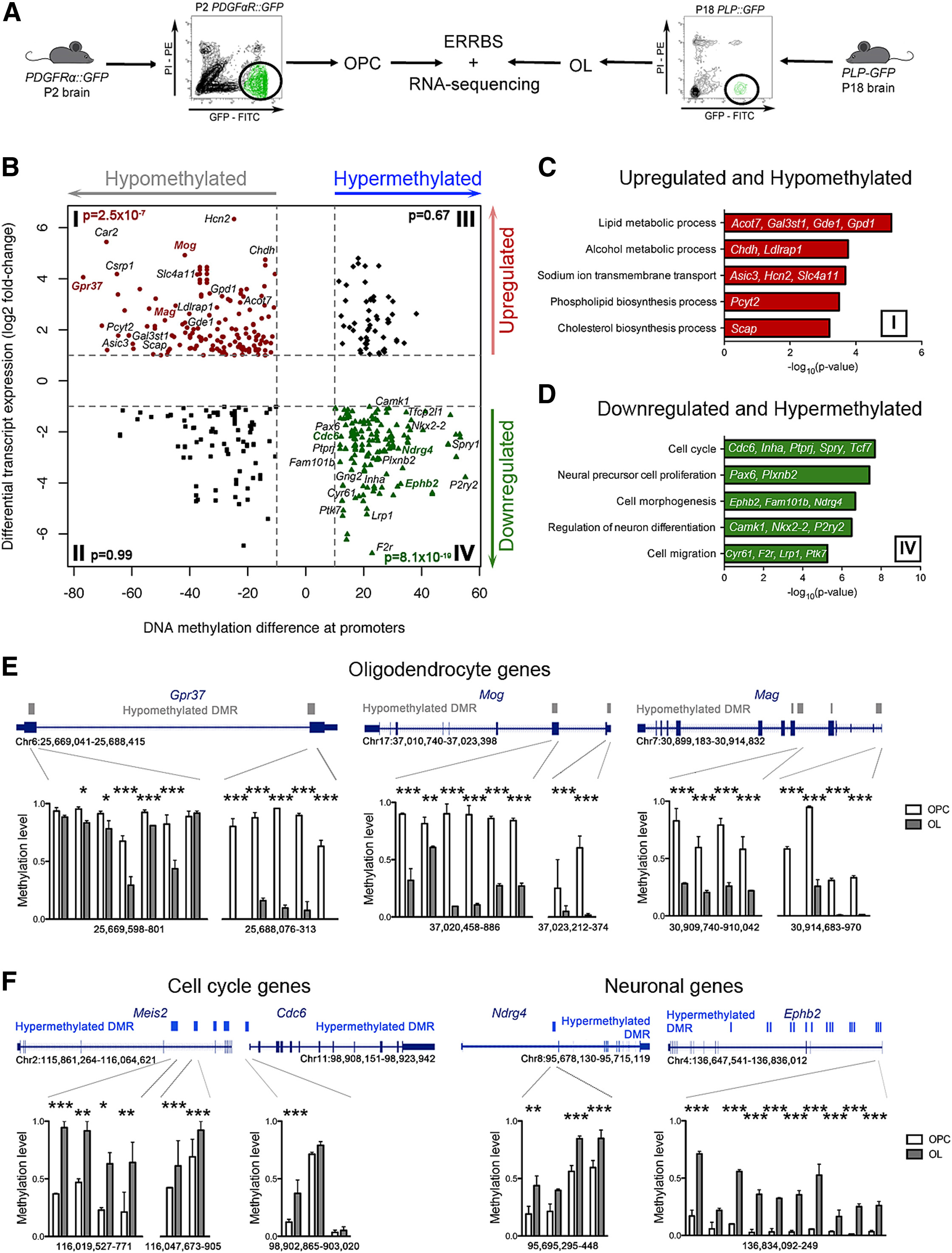 Functional Characterization Of Dna Methylation In The Oligodendrocyte Lineage Cell Reports