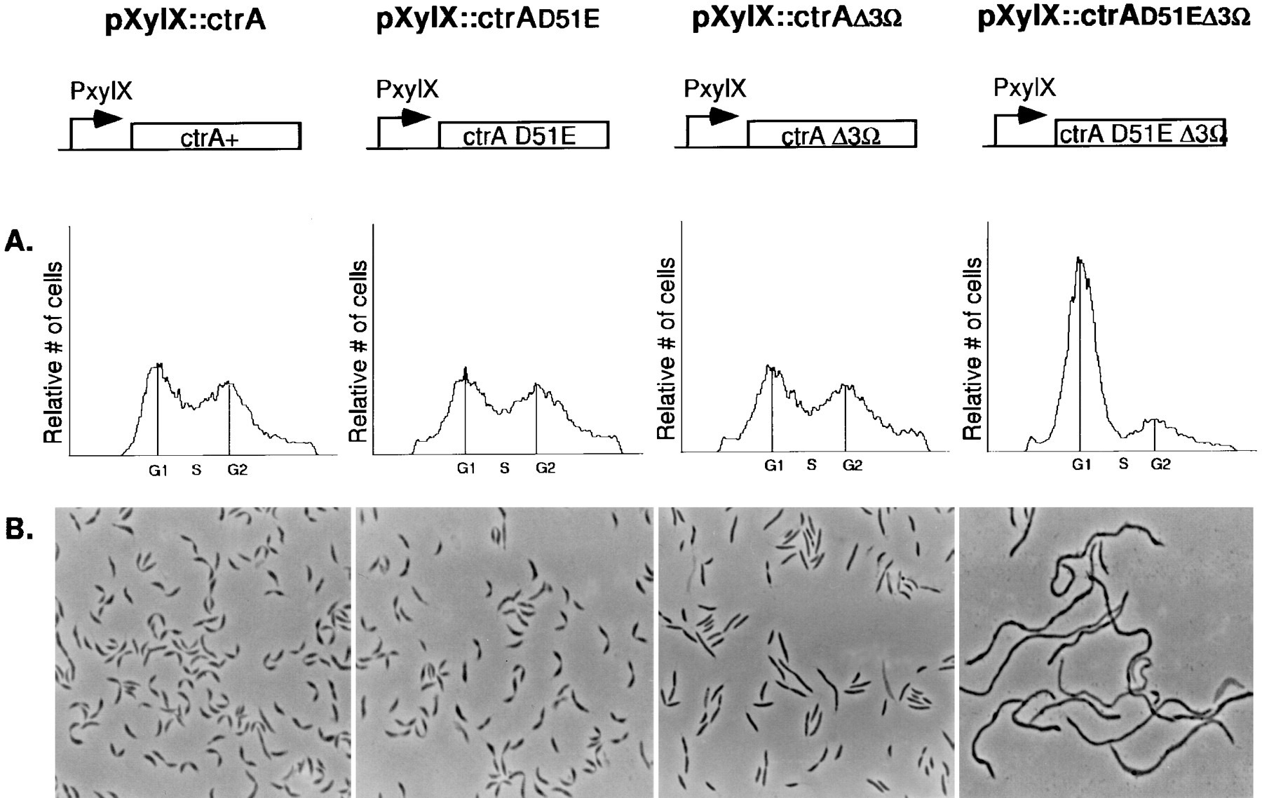 Cell Type Specific Phosphorylation And Proteolysis Of A Transcriptional Regulator Controls The