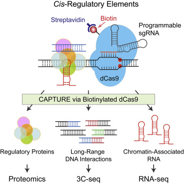 In Situ Capture Of Chromatin Interactions By Biotinylated