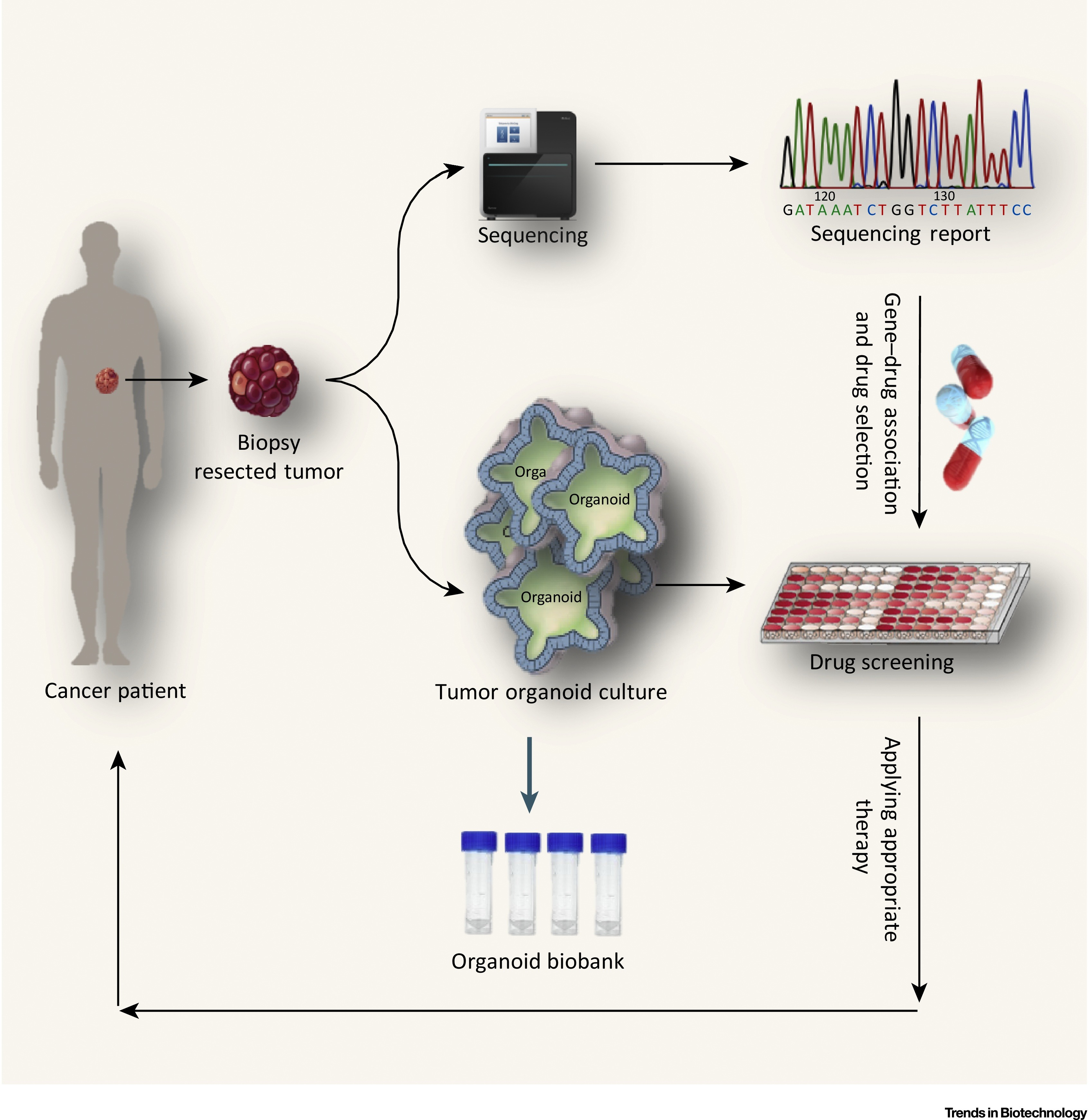 Personalized Cancer Medicine An Organoid Approach Trends