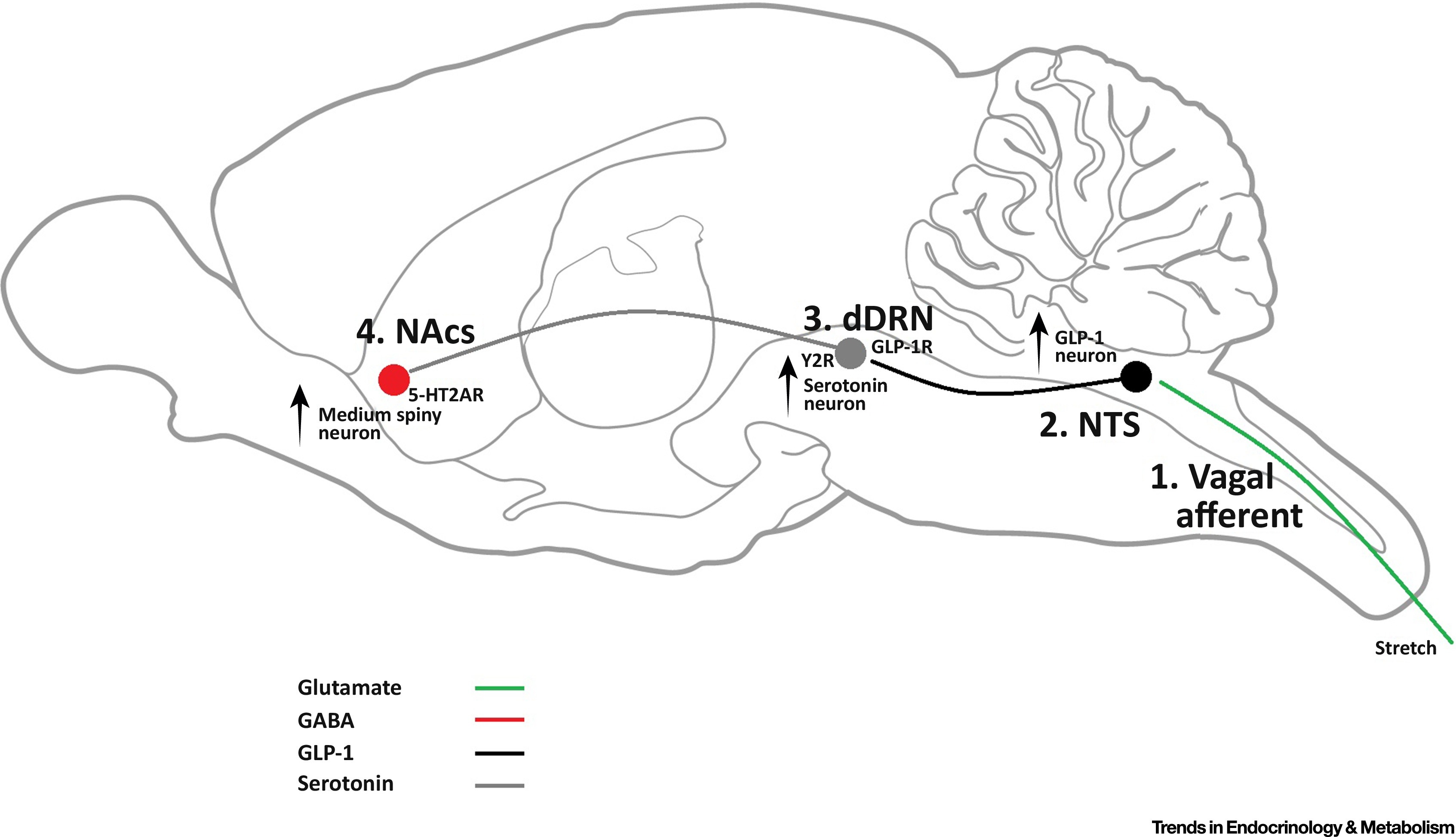 Brain Feeding Circuits After Roux En Y Gastric Bypass Trends In Endocrinology Amp Metabolism