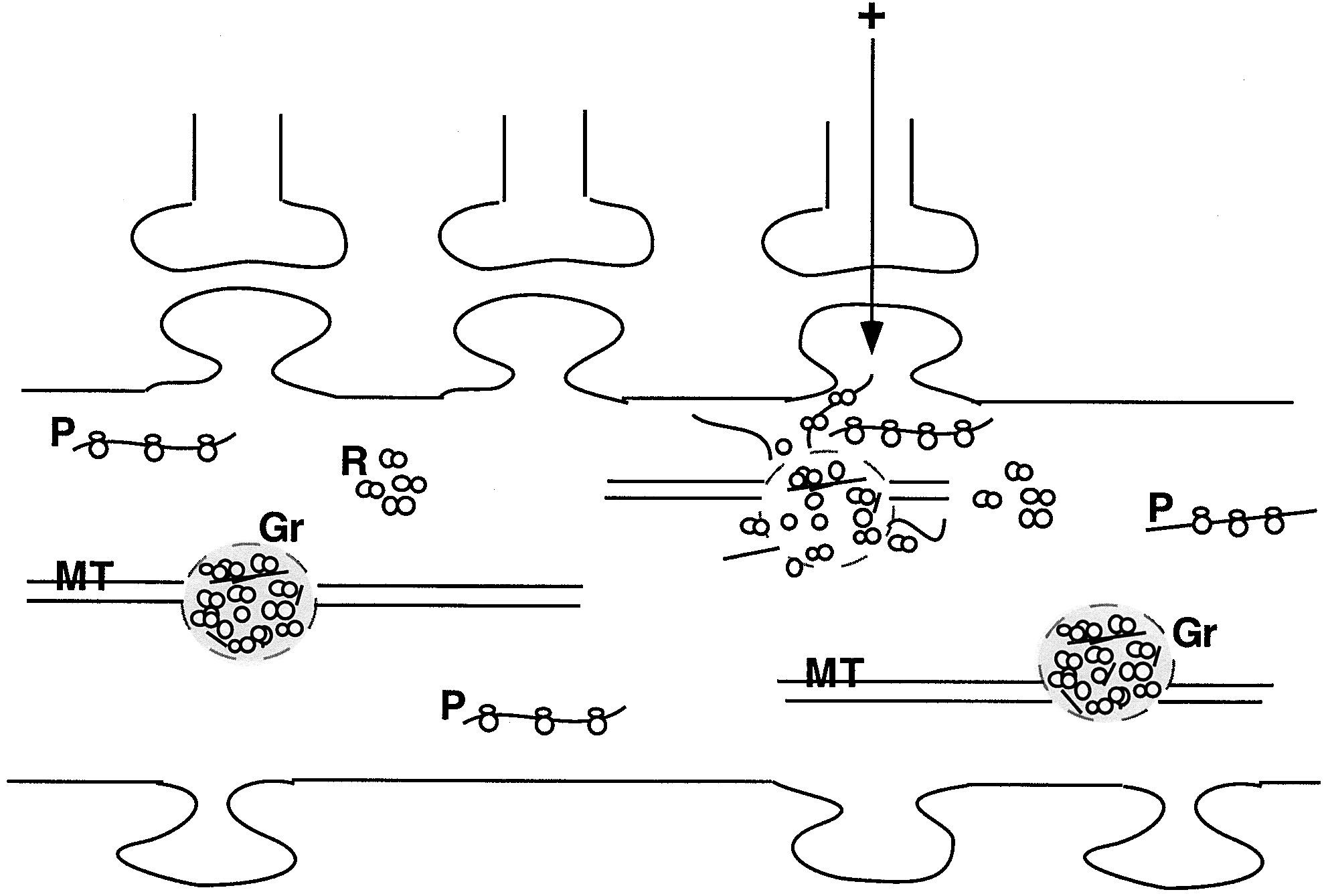 Neuronal Rna Granules Neuron