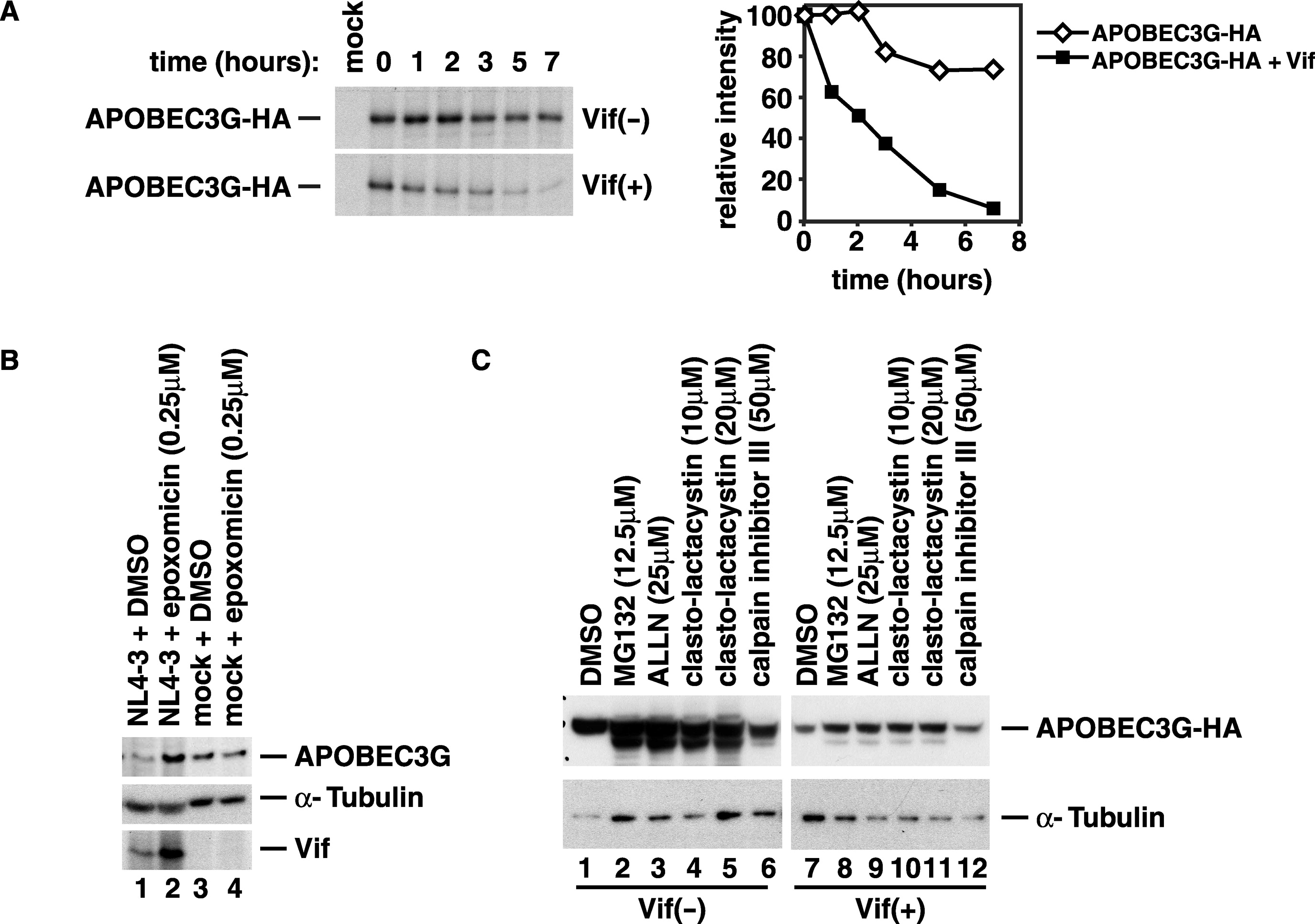 Hiv 1 Vif Blocks The Antiviral Activity Of Apobec3g By Impairing Both Its Translation And