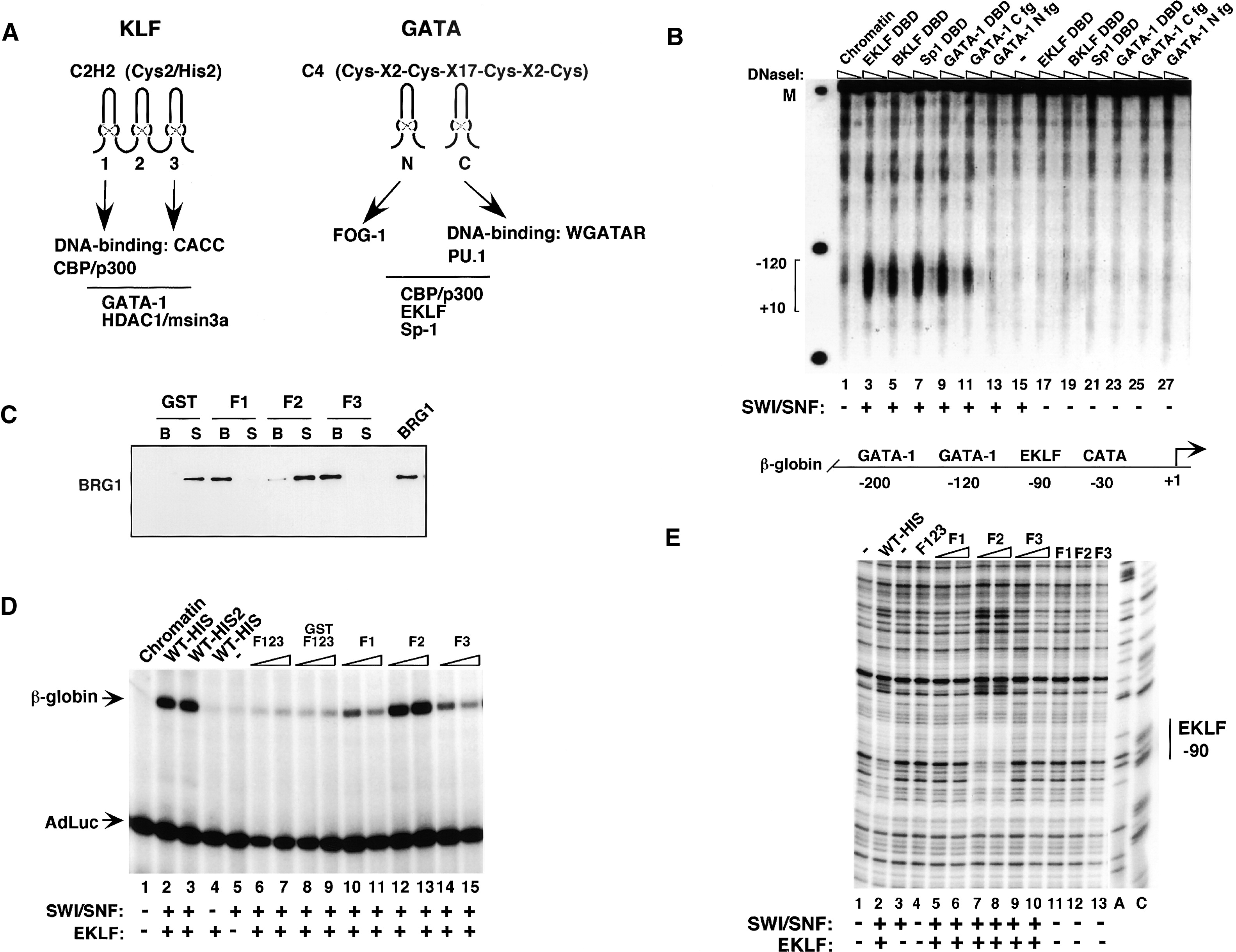 Transcriptional Specificity Of Human Swi Snf Brg1 And Brm