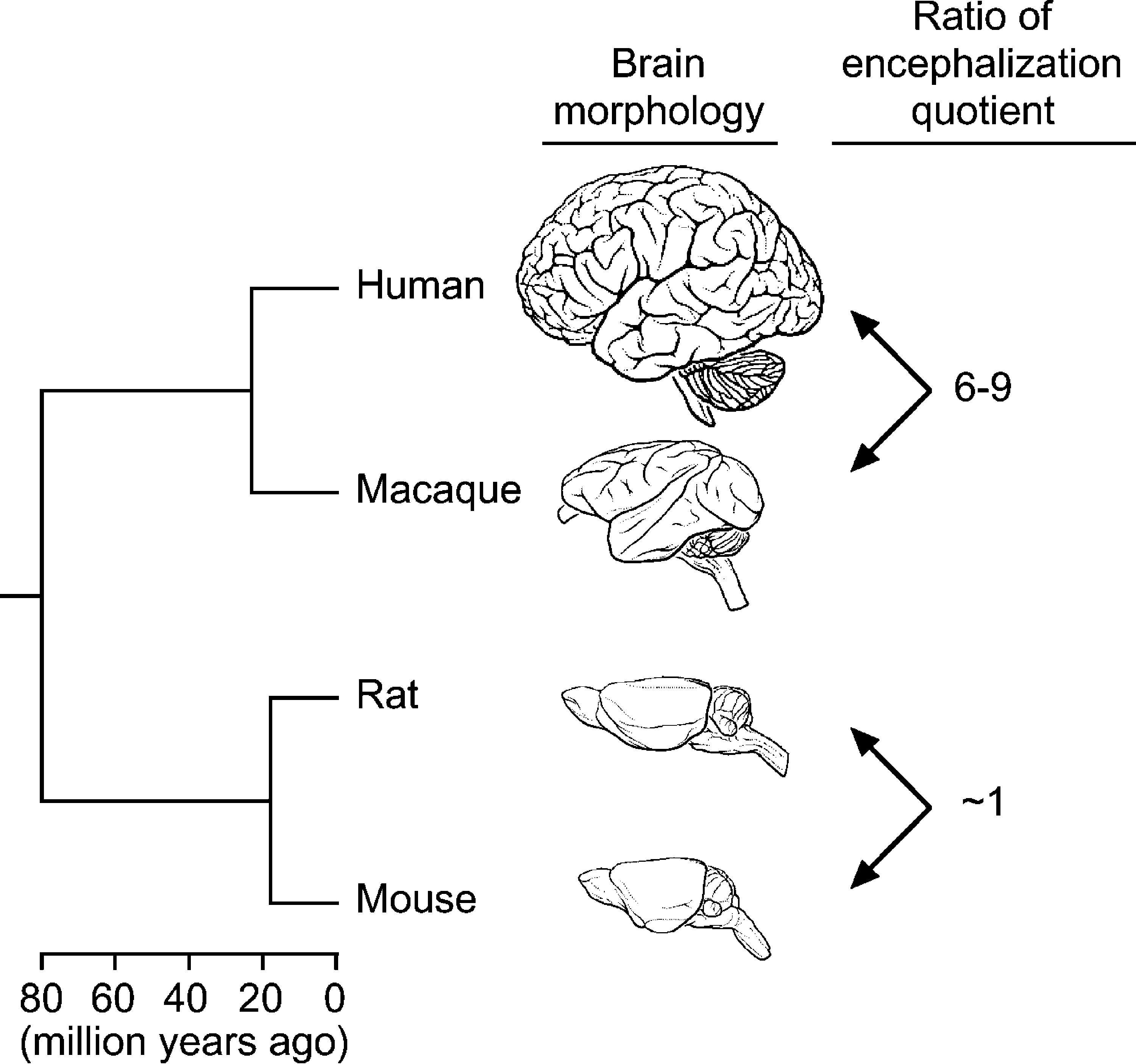 Accelerated Evolution Of Nervous System Genes In The