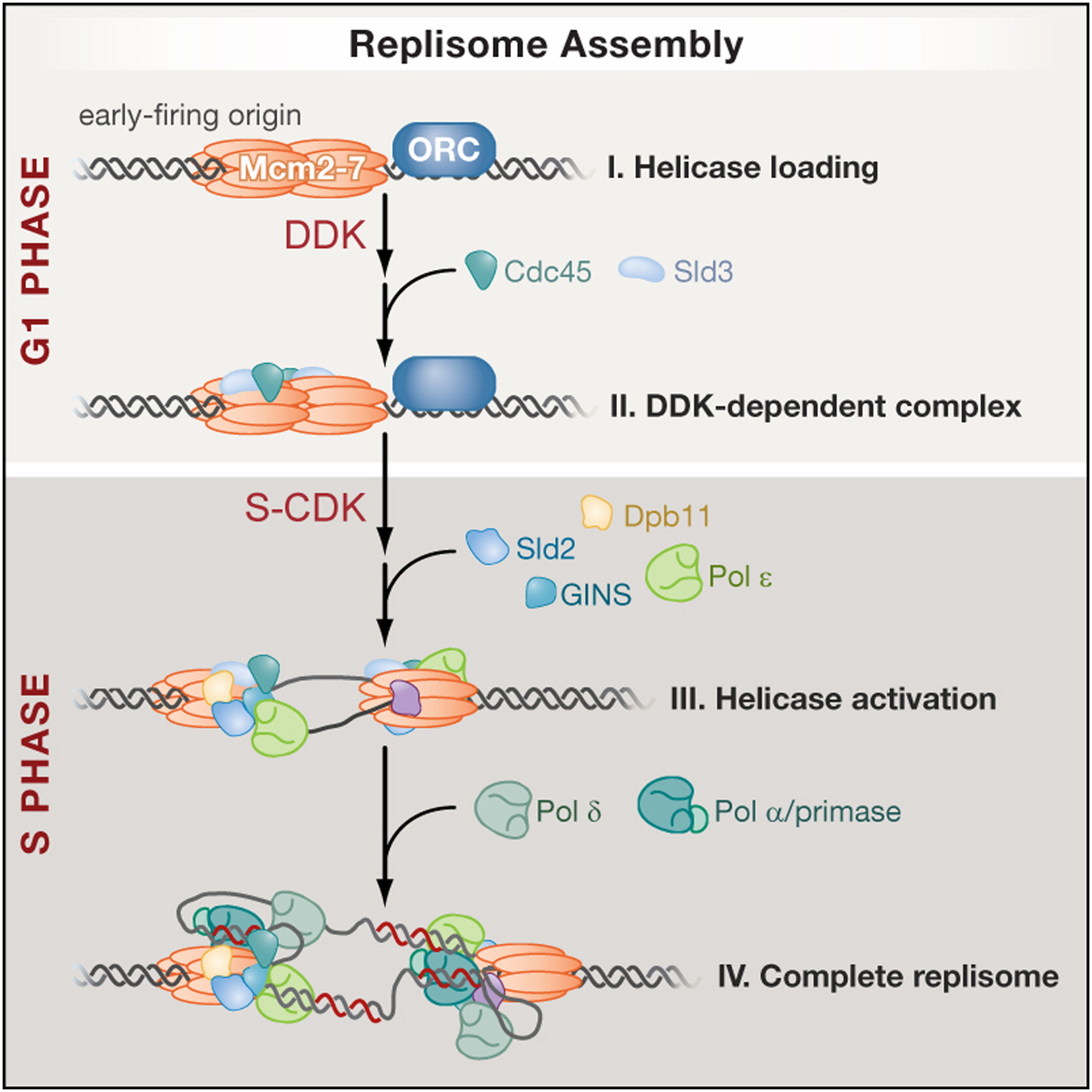 Eukaryotic Origin Dependent Dna Replication In Vitro
