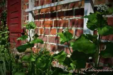 Knoblauchsrauke als Gemüsepflanze