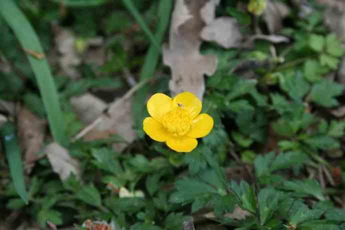 hahnenfussblüte