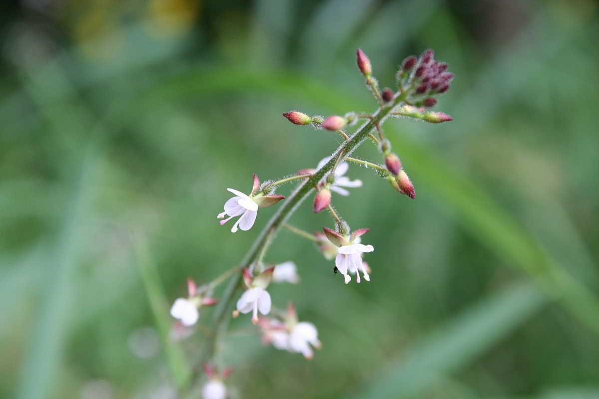 Hexenkraut - Circaea lutetiana