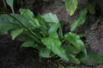 Goldrutenblatt