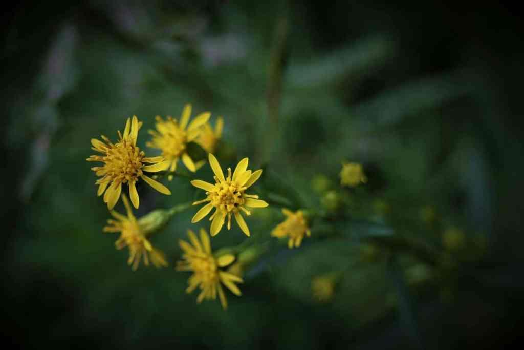 Blüten der Goldrute
