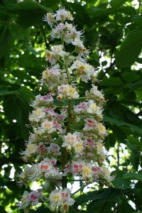 Rosskastanienblüten