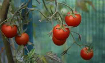 Alte Tomatensorte Onkel Gustav