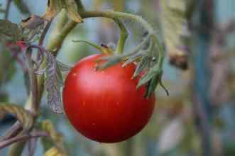 Alte Tomatensorte Roter Heinz