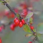 Färberpflanze Berberitze
