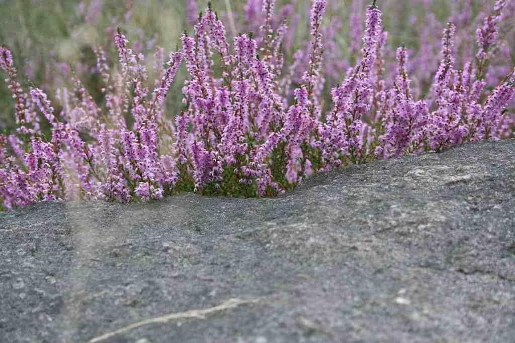 Färberpflanze Besenheide
