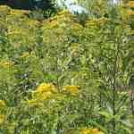 Goldrute als Färberpflanze