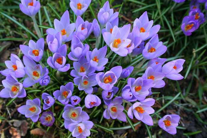 Krokusse sind Zeigerpflanzen für den Vorfrühling
