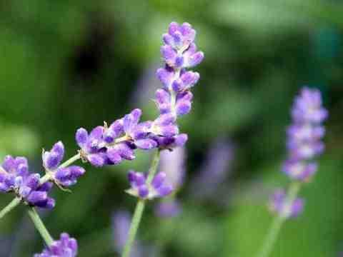 Richtig mit Lavendel räuchern