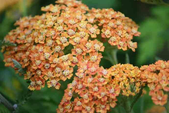 Schafgarbe orange