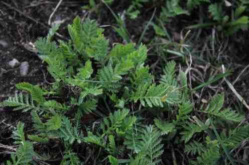 Rainfarnblätter