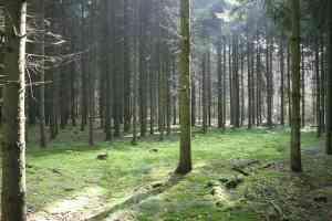 (Fichtenwald)
