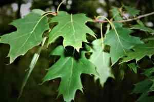Blätter der Roteiche