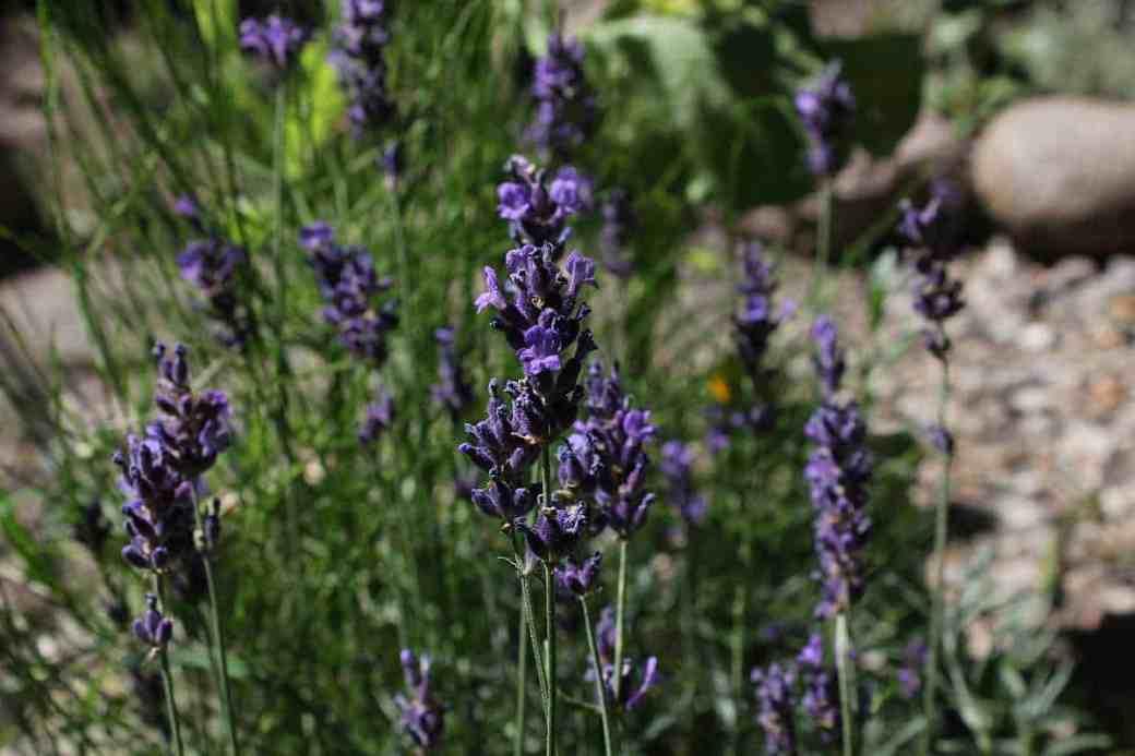 Anti Mücken Öl aus Lavendel