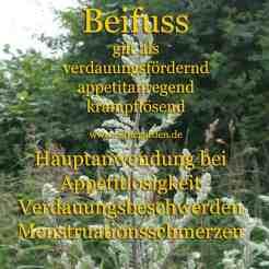 Steckbrief Beifuss