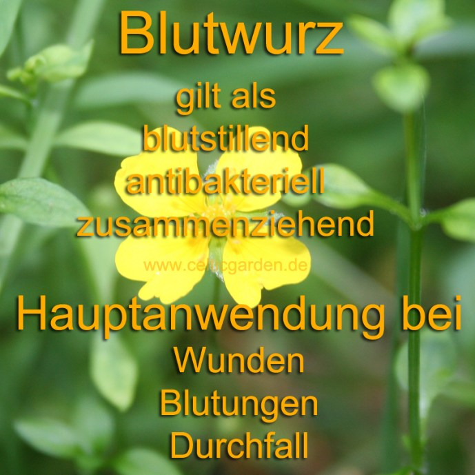 heilpflanze_blutwurz