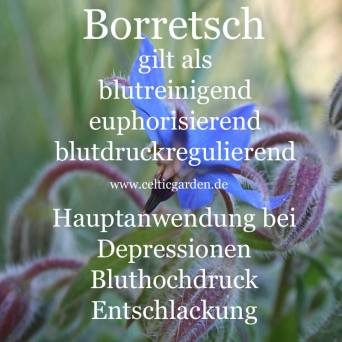 Steckbrief Borretsch