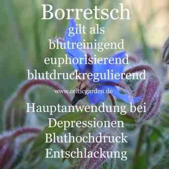 Steckbrief Borretsch