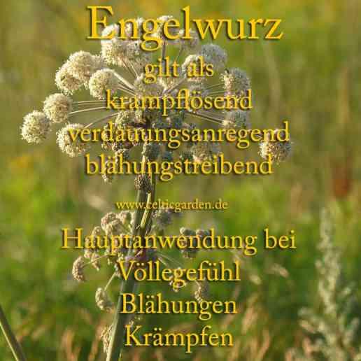 heilpflanze_engelwurz