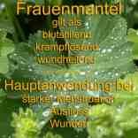 heilpflanze_frauenmantel